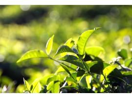 Skąd biorą się poszczególne kolory, rodzaje herbat?